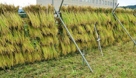 「はさ掛け米」の稲刈り体験(現場レポート)