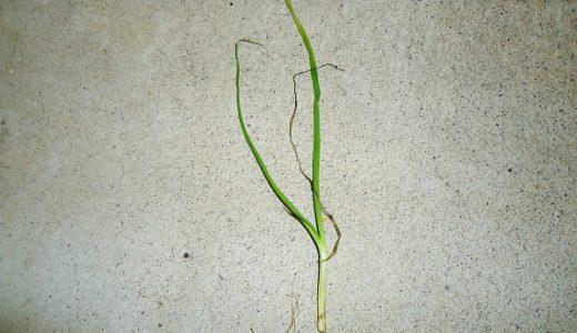 家庭菜園!玉ねぎの育て方(育成レポート)