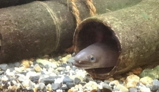 なぜ鰻(うなぎ)は生で食べないのか?